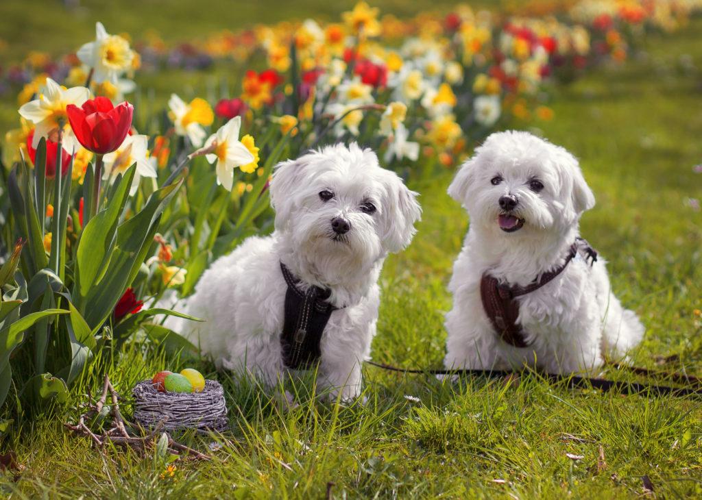 Ostershooting Hunde vor Blumenbeet mit Ostereiern