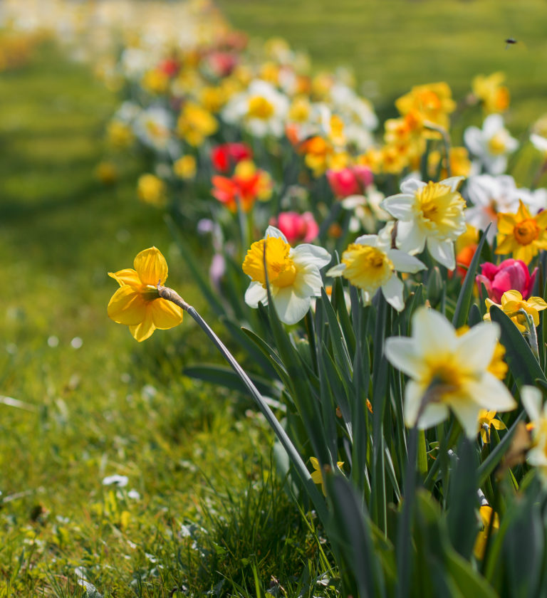 Ostershooting Blumenbeet Osterglocken