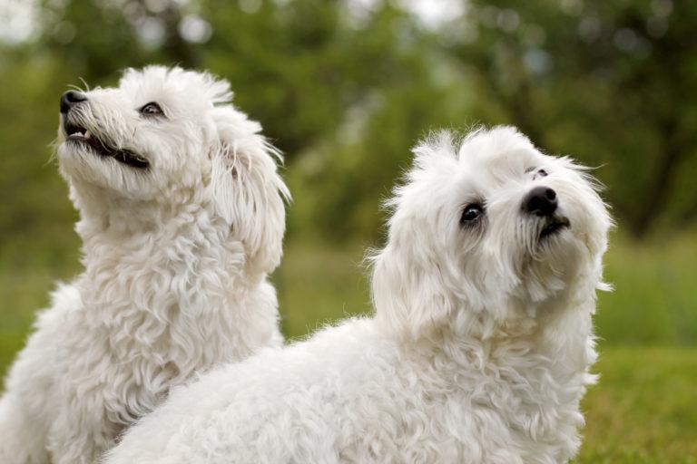 Hunde Outdoor weiße Malteser