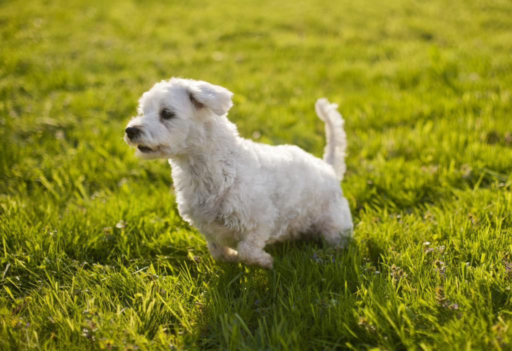 Tierfotografie Hund läuft über Wiese
